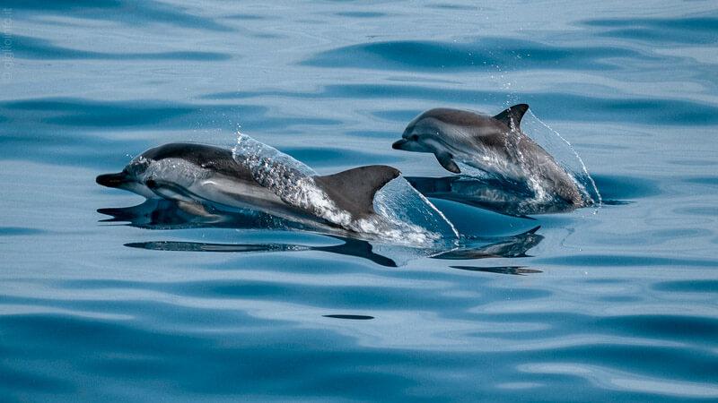 Delfini nell'Arcipelago Toscano