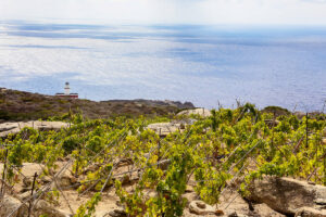 Vigneto Isola del Giglio con Faro di Capel Rosso